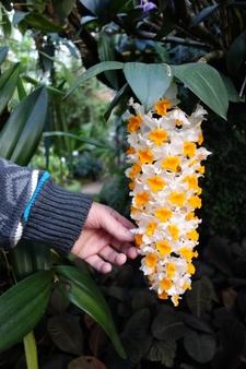 Dendrobium thyrsiflorium aus Indien