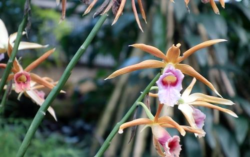 Phaius villeae - Dunkelorchidee aus Asien