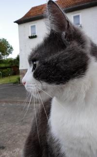Grau-weisse Katze