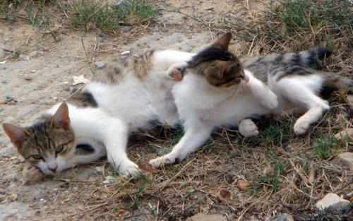 Kretische Katzen