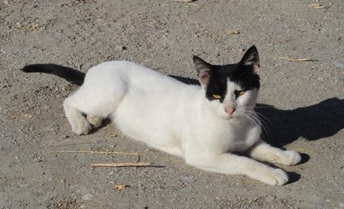 Weisser Kater mit schwarzem Schwanz und schwarzen Ohren