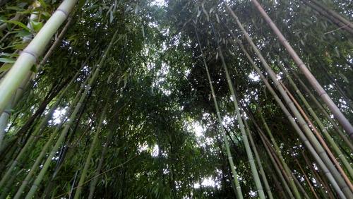 Bambuswald im Herzogenriedpark in Mannheim