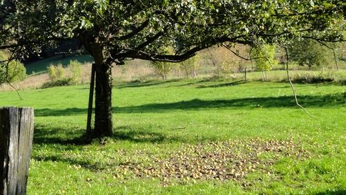 Obstbaum auf dem Kohlhof in Heidelberg