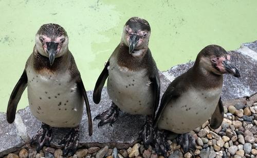 Drei Humbold-Pinguine