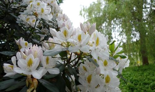 Weisse Rhododendren