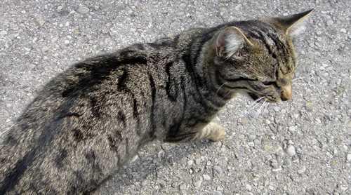 Katzengrau