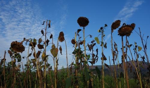 Verlühte Sonnenblumen