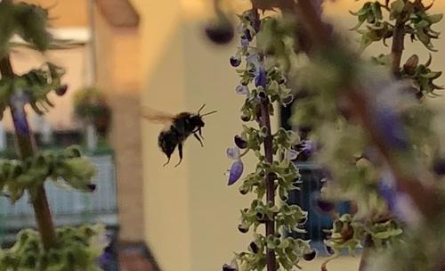 Wildbiene im Anflug