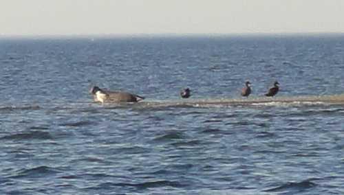 Seehund und Kormorane auf dem Lieps