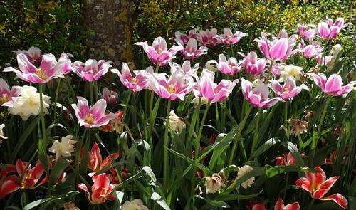 Tulpen auf der Kneippstrasse