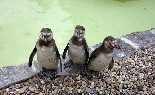 Pinguine im Luisenpark