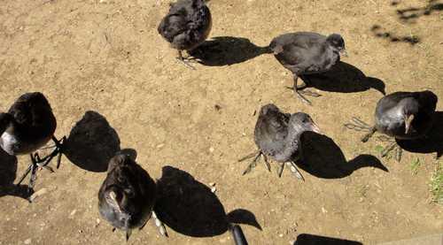 Blässhühner